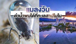 แมลงวัน-การค้นพบที่สามารถดำน้ำได้ในทะเลสาปโมโน